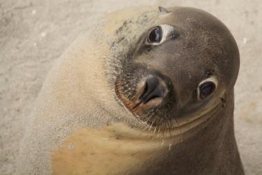 sea lion Kangaroo Island