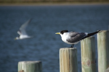 tern at the Coorong