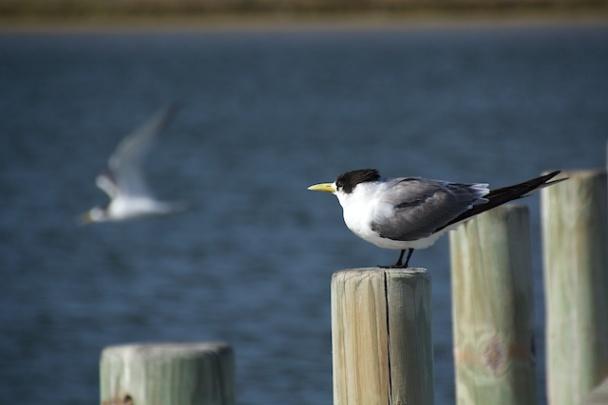 tern at the Coorong