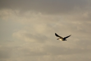 pelican over the Coorong
