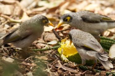 noisy miners enjoying mango