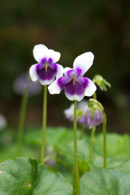 native violets
