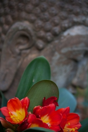 clivia with buddha