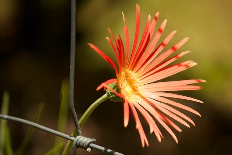 gerbera and dogwire fence