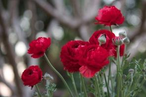 red ranuculas