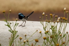 blue wren Cape Willoughby