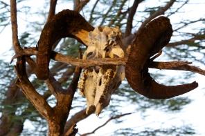 former ram of Begonia