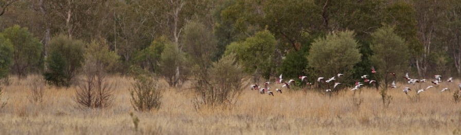 galahs in flight at Begonia