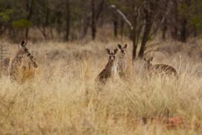 kangaroos at Begonia