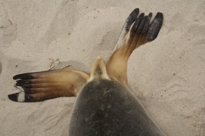 sea lion feet Seal Bay