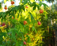 chinese lantern bush