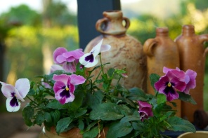 cottage pansies