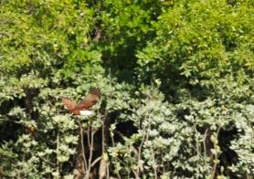 Hunter River brahminy kite in flight