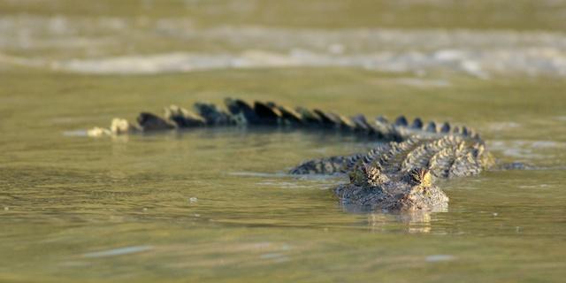 Hunter River crocodile