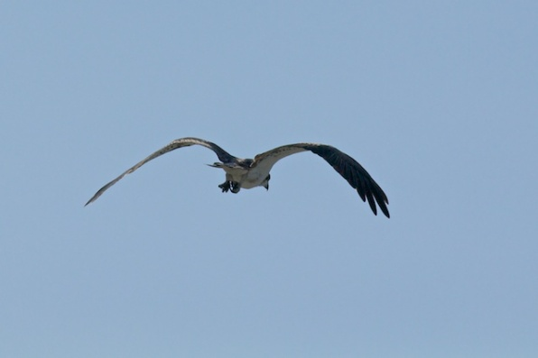 osprey in the Kimberley