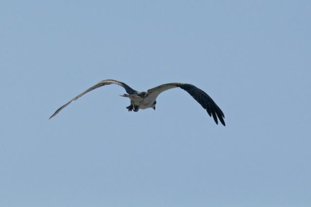 osprey in the Kimberley