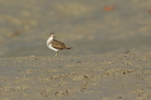 Hunter River sandpiper