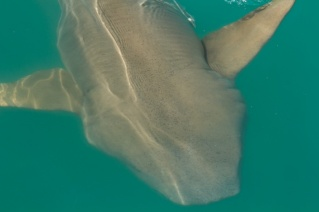 Hunter River tawny nurse shark up close