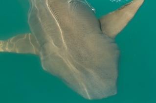Hunter River tawny nurse shark up close