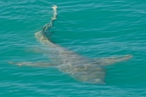 Hunter River tawny nurse shark