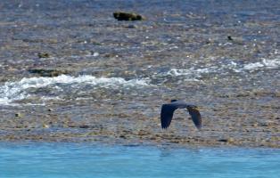 eastern reef egret (grey morph) flies across Montgomery Reef