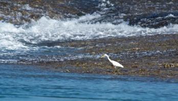 eastern reef egret (white morph) Montgomery Reef