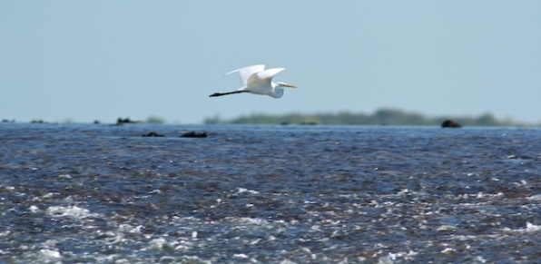 great egret flying across Montgomery Reef