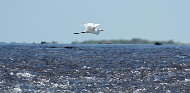 great egret flying across Montgomery Reef