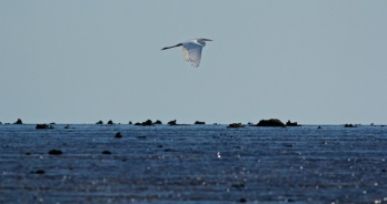 great egret flying over Montgomery Reef