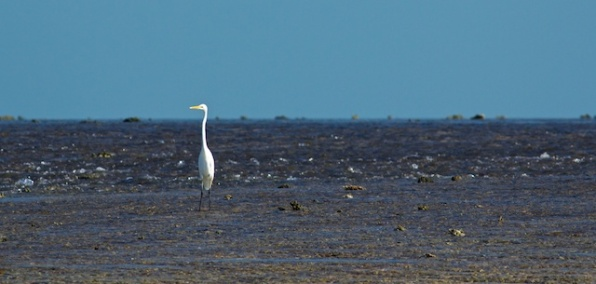 great egret Montgomery Reef