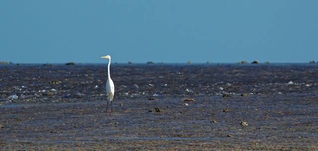 great egret Montgomery Reef