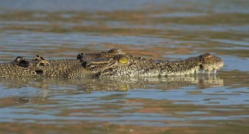 Hunter River Croc cruising along