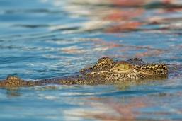 Kimberley croc