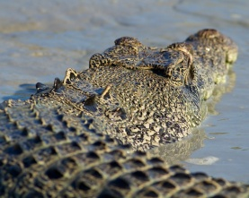 Hunter River Croc from behind