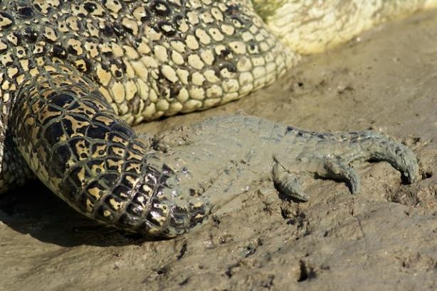 Hunter River Croc front leg