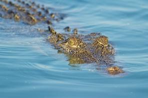 Hunter River Croc front on