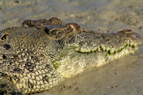 Hunter River Croc green teeth