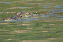 Hunter River Croc in green reflections