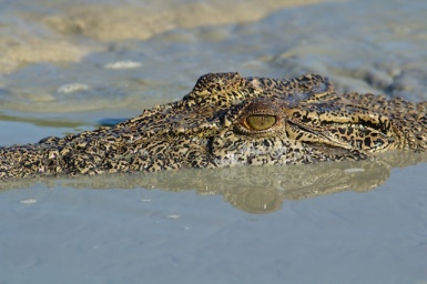 watchful croc in the Kimberley