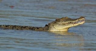 Hunter River Croc smiling?