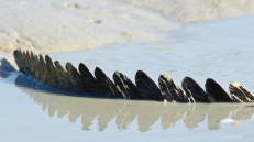 Hunter River Croc spines