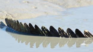 Hunter River Croc spines
