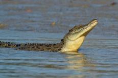 Hunter River Croc stretching