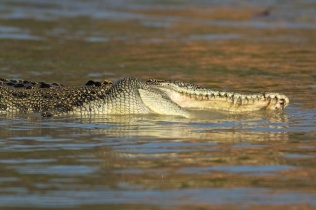 Hunter River Croc taking a roll