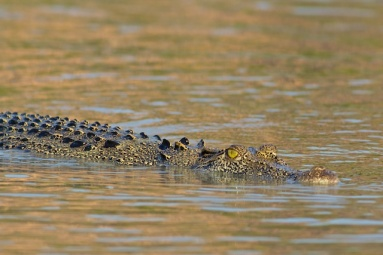 Hunter River Croc watching