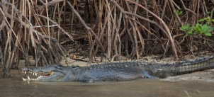 Crocodile on the King George River