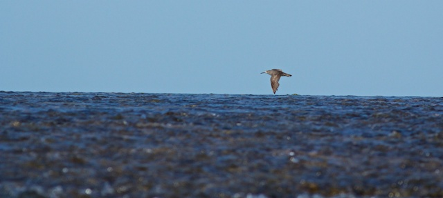 Montgomery Reef sandpiper flyover