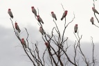galahs in Western Queensland