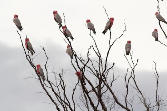 galahs in Western Queensland