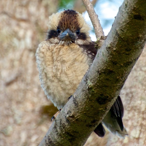 kookaburra not long out of his nest